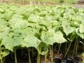59294294_1_644x461_rasaduri-de-legume-de-la-producator-targu-jiu.jpg