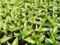 59294294_3_644x461_rasaduri-de-legume-de-la-producator-plante-si-seminte.jpg