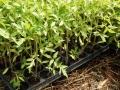 59294294_4_1000x700_rasaduri-de-legume-de-la-producator-casa-si-gradina.jpg