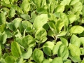 59294294_5_1000x700_rasaduri-de-legume-de-la-producator-gorj.jpg