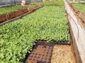 59294294_7_1000x700_rasaduri-de-legume-de-la-producator-.jpg